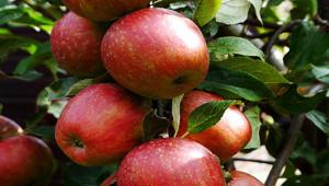 apples530-300