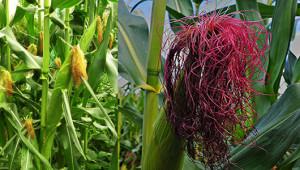 corn-530-300_02