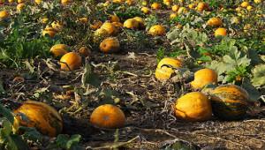 pumpkin-530-300_01